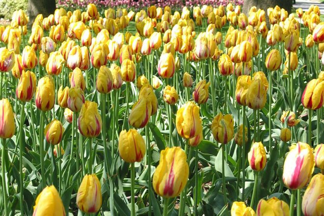 Photograph of Tulip flowers